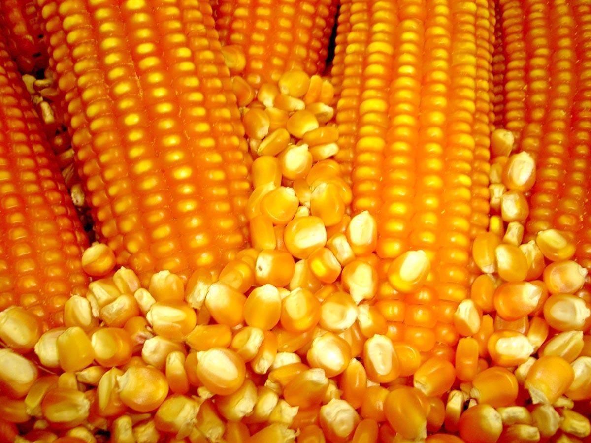 Milho: Alta nos preços devem ser aproveitadas pelos produtores, afirma consultor