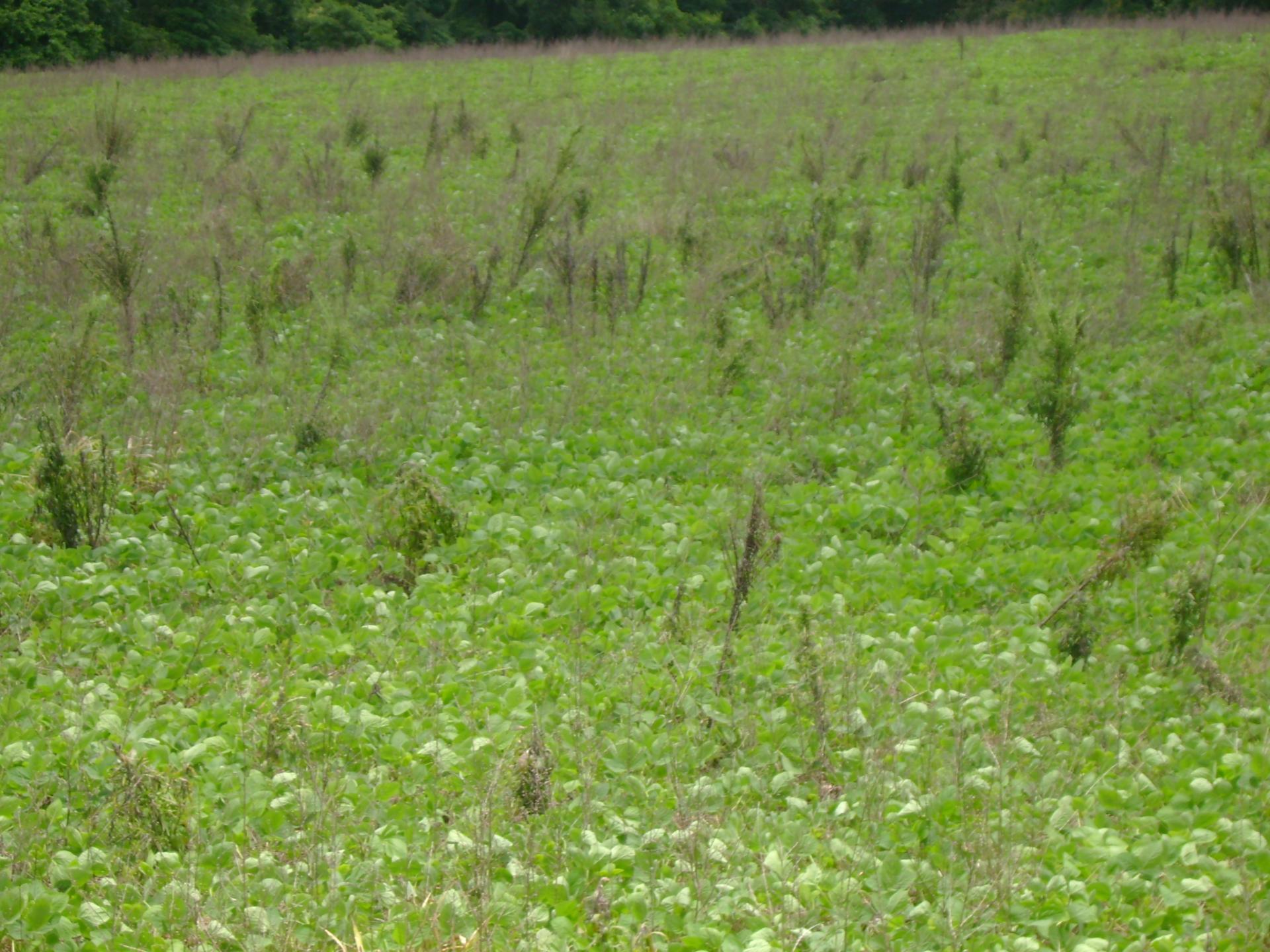 Manejo de coberturas vegetais e controle de plantas daninhas na soja