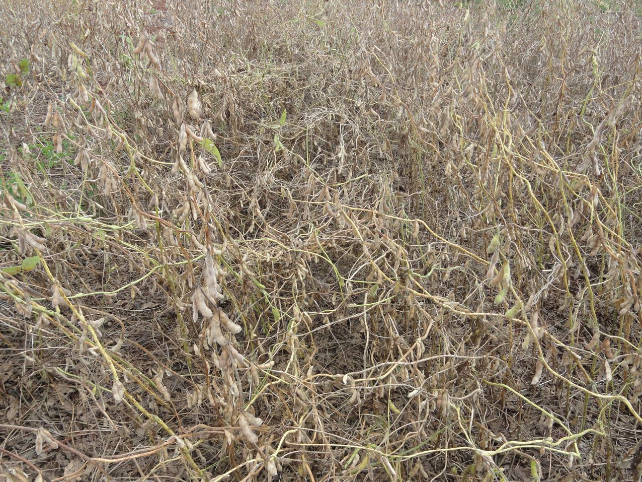Acamamento de plantas na cultura da soja