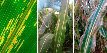 Estria bacteriana é a nova doença do milho detectada no Paraná.
