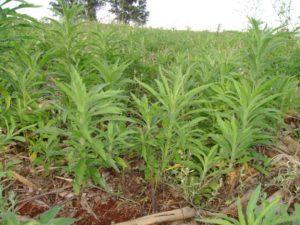 A importância do manejo das plantas daninhas na entressafra