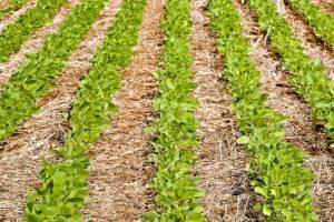 Confira pontos fundamentais para conseguir uma boa safra de soja
