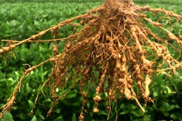 As raízes ajudam na melhoria da qualidade do solo