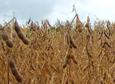 Veja o que pode afetar o mercado de soja na próxima semana