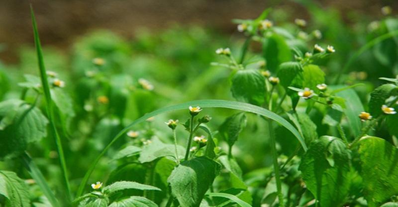 Importância da Alelopatia no Manejo de Plantas Daninhas