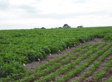 Embrapa: espaçamento menor pode fazer soja render quase 5 sacas a mais por hectare