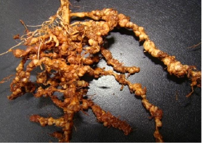 Nematoides, a praga invisível da soja