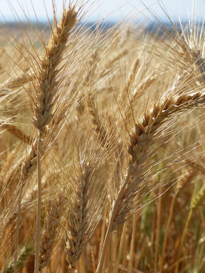 O trigo deixará de ser uma cultura viável na Irlanda até 2022