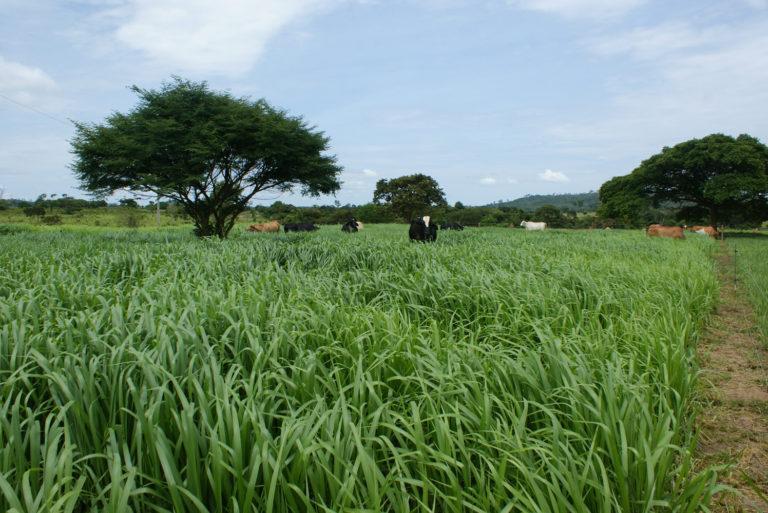As culturas de entressafra podem influenciar a produtividade da soja