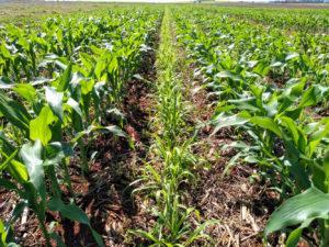 Consórcio do milho segunda safra com braquiária beneficia o solo e a soja