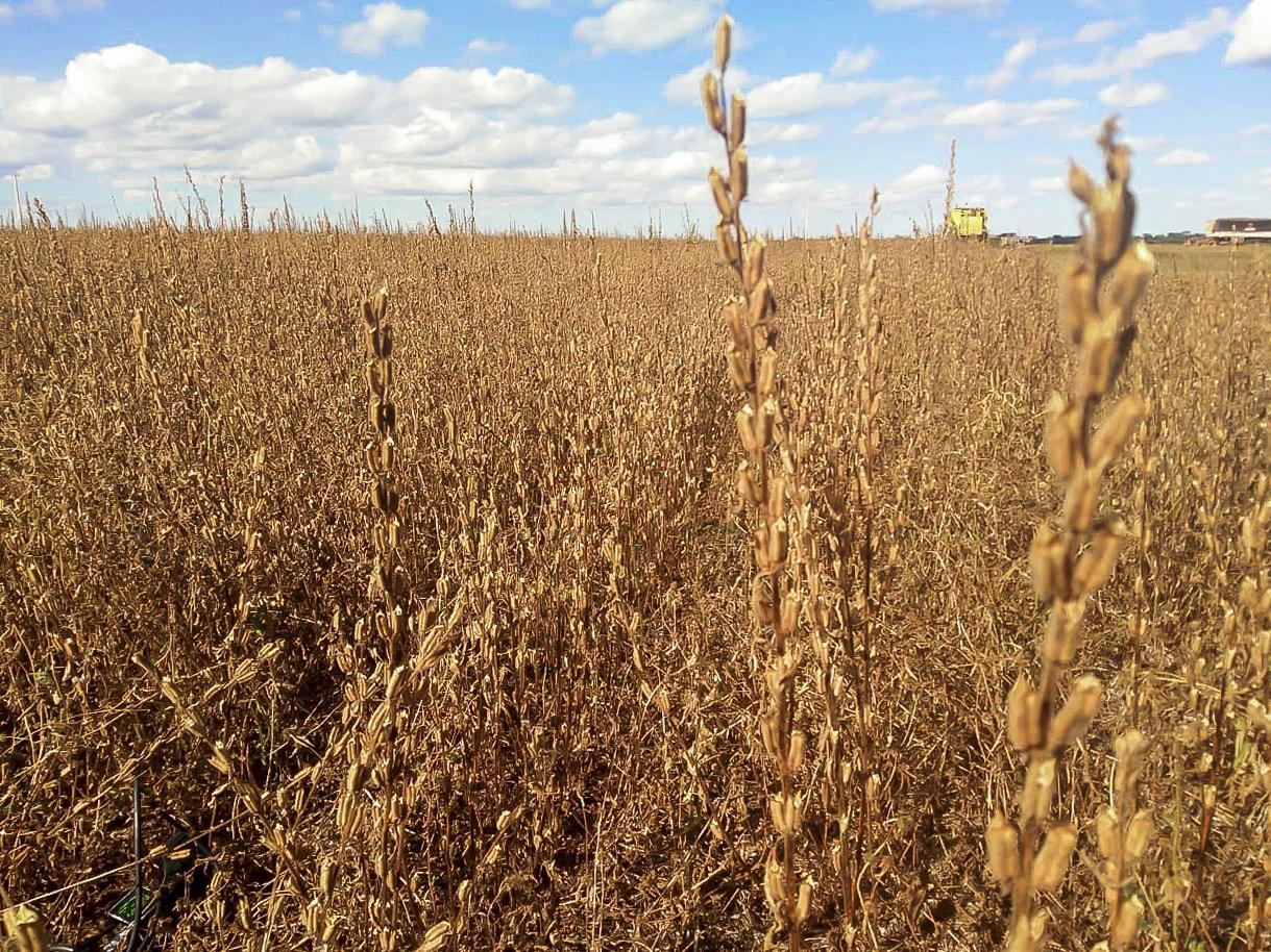 Boa rentabilidade e demanda crescente; veja a vantagem de plantar gergelim