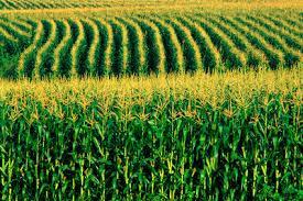 Milho como alimento e como biocombustível