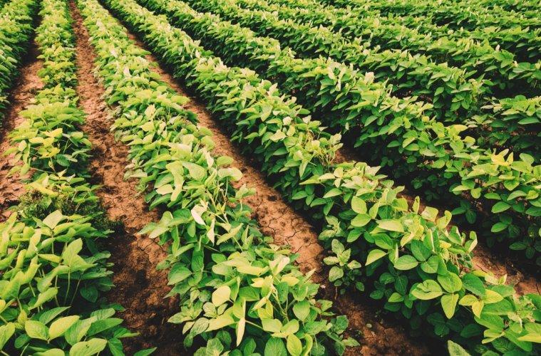 Comentando a produção brasileira de soja