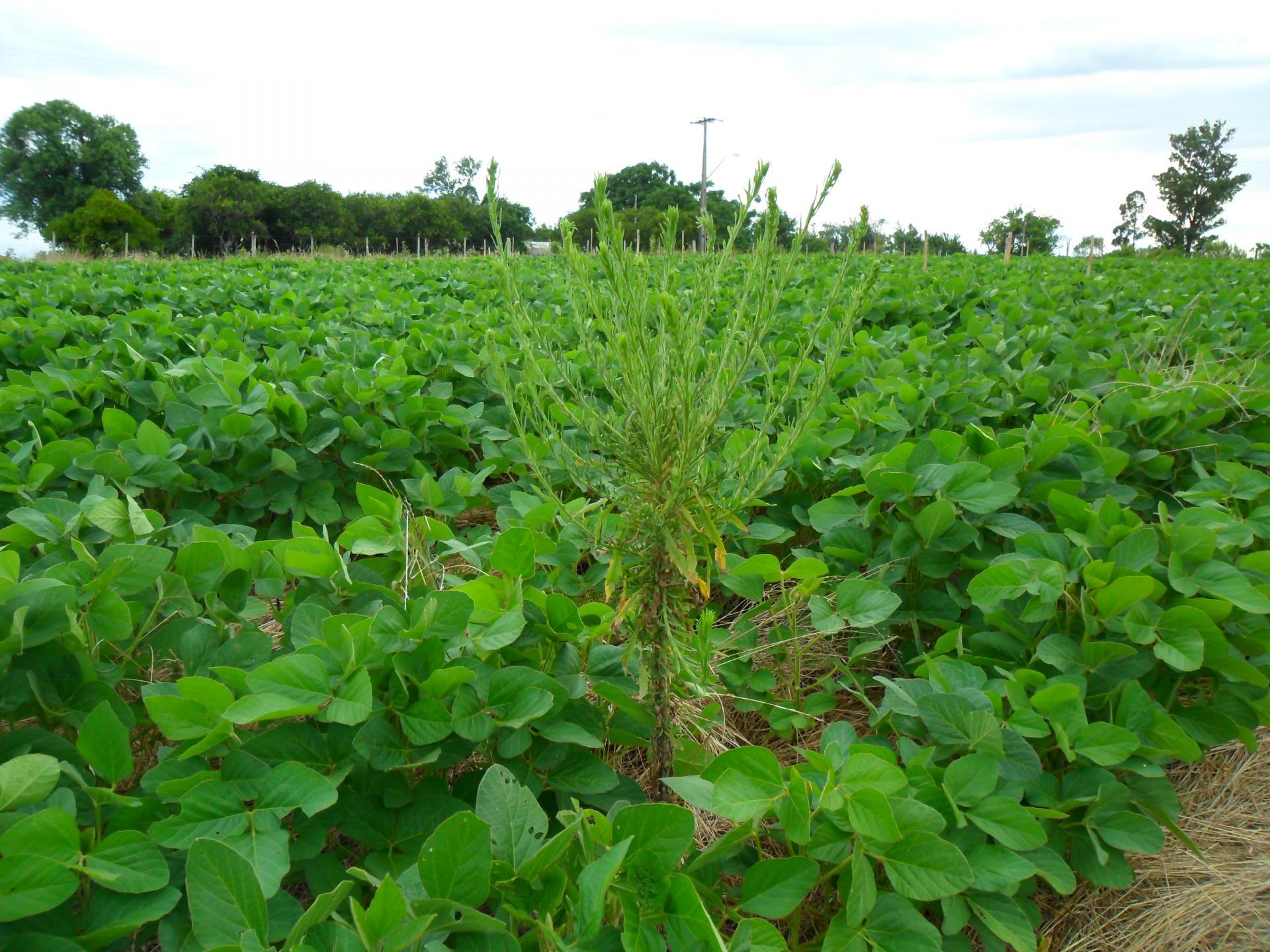 Veja práticas culturais para manejo de plantas daninhas na cultura da soja