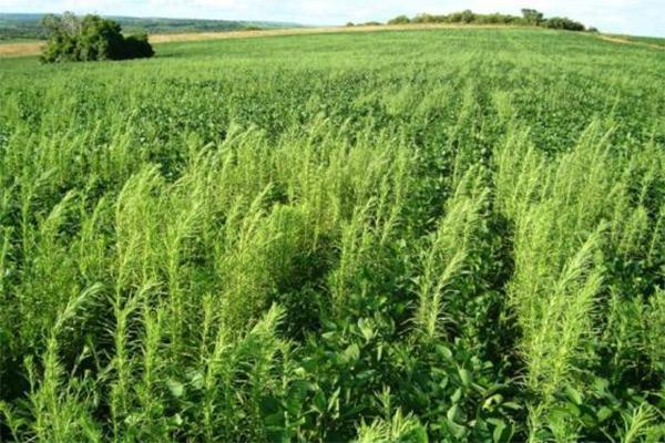 Confira 22 dicas da Embrapa para controle de pragas e plantas daninhas na soja