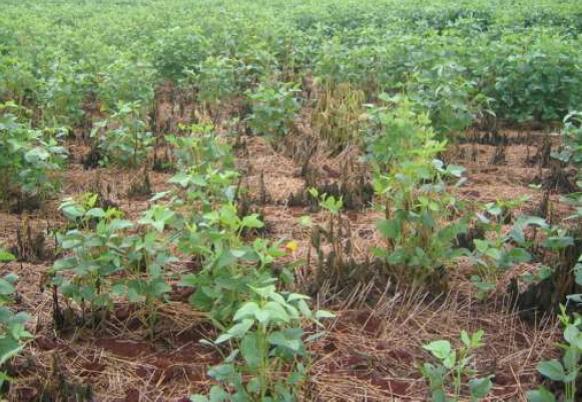 Podridão radicular causada pela phytophthora pode destruir lavoura de soja