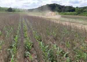 Você conhece o novo sistema de produção de milho desenvolvido pela Embrapa? Antecipe – cultivo inter