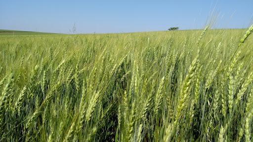 A cultura do trigo no Brasil