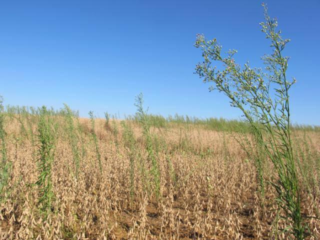 Manejo de plantas daninhas na entressafra da soja